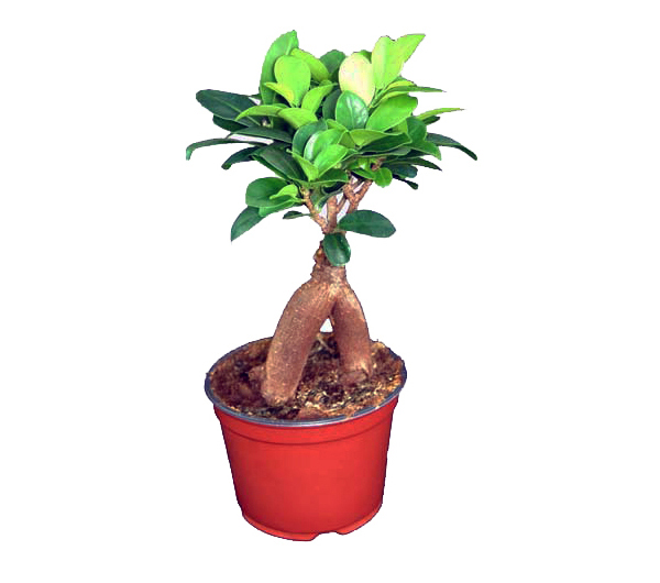 Ficus Ginseng / Lorbeerfeige