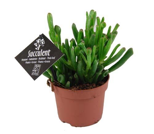 Sukkulenten Zimmerpflanzen sukkulenten lexikon für kräuter und pflanzen