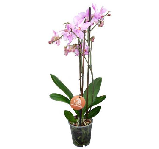 Phalaenopsis / Schmetterlingsorchidee