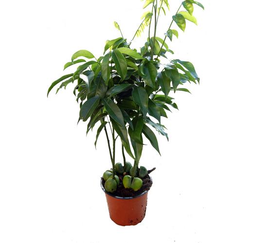Australische Kastanie / Black Bean Tree
